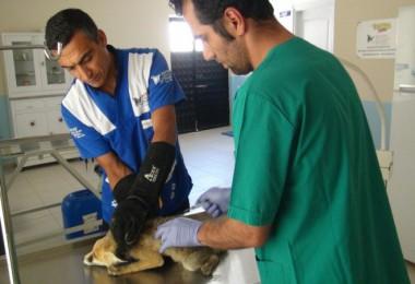 Tatvan'da bulunan yaralı tilki tedavi altına alındı