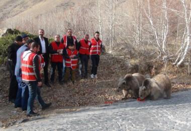 Nemrut'taki ayılar kavurma ile beslendi