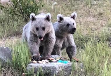 Nemrut Kalderası'ndaki bozayı yavruları çöpten besleniyor