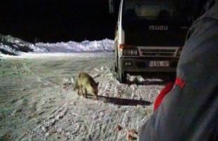 Bitlis'te karnı acıkan tilki lokantanın kapısına dayandı