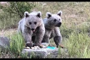 Nemrut Kalderası'ndaki bozayı yavruları çöpten besleniyor - Bitlis Bülten